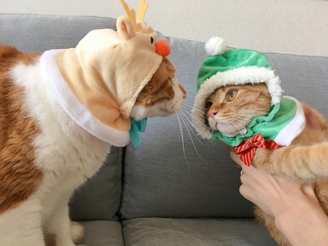 【検証】ひとつ500円トイカプセル「かわいい かわいい ねこクリスマスちゃん」を愛猫に全種類かぶせてみたら…悶絶する事態に!
