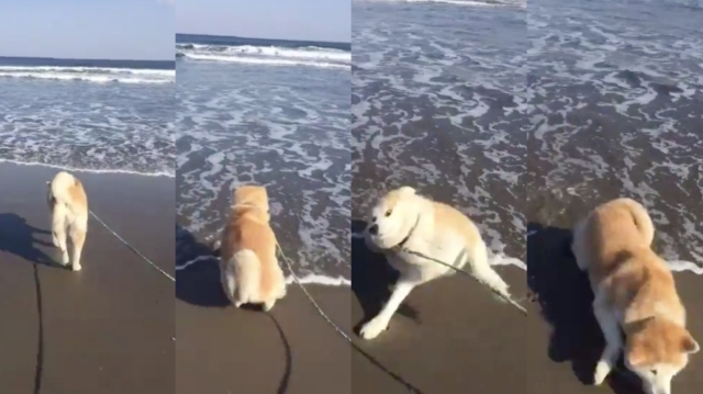 初めての海にビックリ仰天する秋田犬がかわいすぎ~! 押し寄せる波に驚いて盛大にずっこけてます