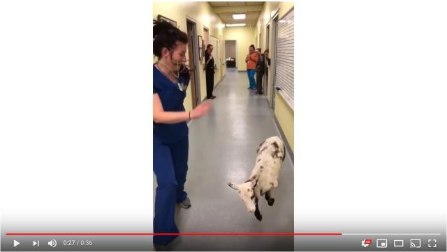 ジャンプしまくる子羊がめちゃキュート!獣医さんと一緒に右へ左へ、飛んだり跳ねたり大はしゃぎだよ♡