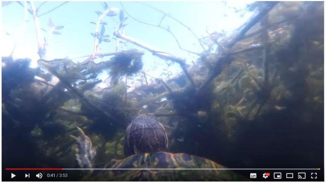 カメにGoProを装着させた「カメから見た世界」が明らかに! 水中では意外と素早く動くんです…!