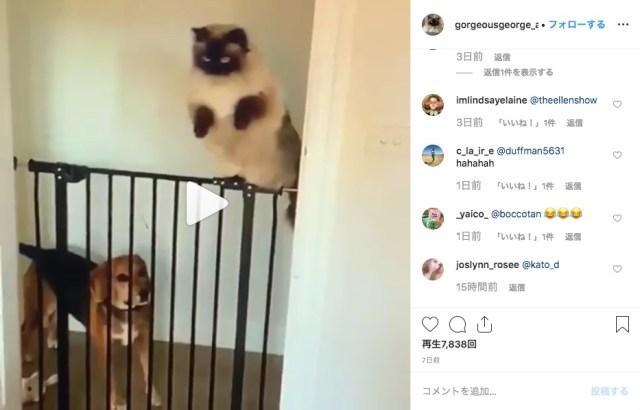 「ワンちゃんよう見とき、こうやって飛ぶんやで」モフモフ猫さんが犬用フェンスを華麗にピョ〜ン!