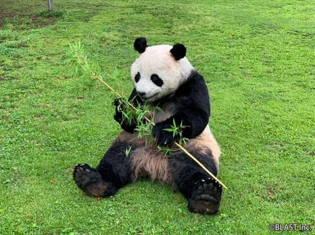 本物かと思いきや「着ぐるみ」!!! 超絶リアルな「パンダの着ぐるみ」がレンタルサービスを開始しました