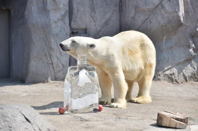 旭山動物園のホッキョクグマに「巨大クーリッシュ氷」をプレゼント! かじったり泳いだりカワイイ姿を動画で公開中だよ