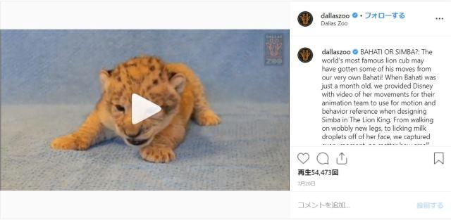 『ライオン・キング』シンバの実在モデルはメスだった! アメリカの動物園で暮らす赤ちゃんライオンです♪