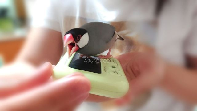 文鳥の前でストップウォッチをヨシヨシしたら…激しく嫉妬! ストップウォッチを攻撃しつつ飼い主を見つめる文鳥が愛おしい…