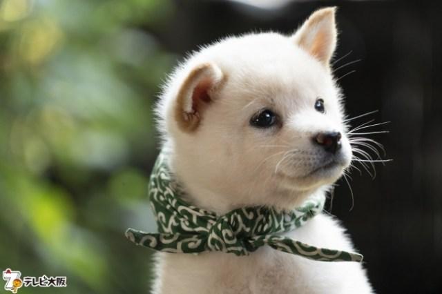 【モッフモフ】『二代目和風総本家』の23代目・豆助は白柴犬! 小さな手足でちょこちょこ歩く姿がたまりません…