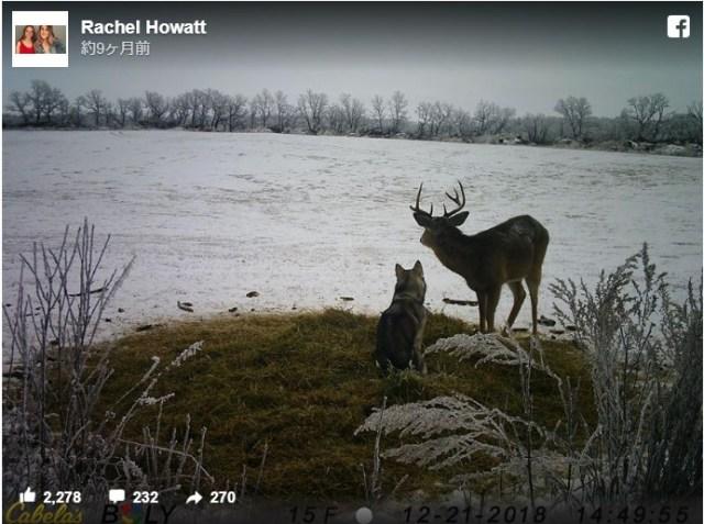 行方不明になったハスキー犬を探していたら…監視カメラに鹿とのラブラブ映像が残されていました