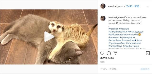 【とっても仲良し】ミーアキャットと猫さんのラブラブライフをご覧あれ♡ いつもくっつきあってて尊さ満開です