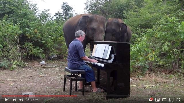 ゾウたちの心に安らぎを与えるために…象の前でピアノを演奏する男性がすごい! 象もちゃんと聞いている様子がわかります