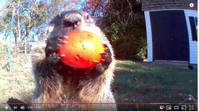 家庭菜園が荒らされてるっ! 監視カメラをつけたところ…野菜をドヤ顔で食べるウッドチャックが映ってた