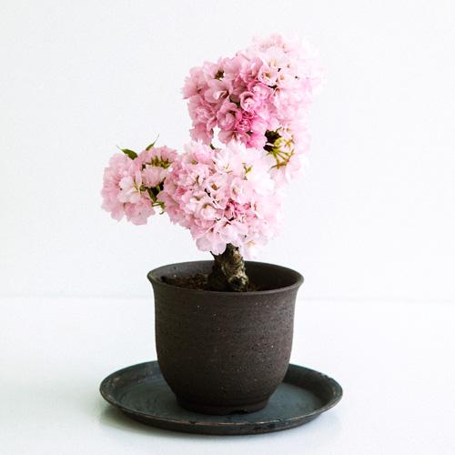 自宅でお花見が楽しめる「桜の鉢植え」がフェリシモに登場! 母の日のプレゼントにも最適です