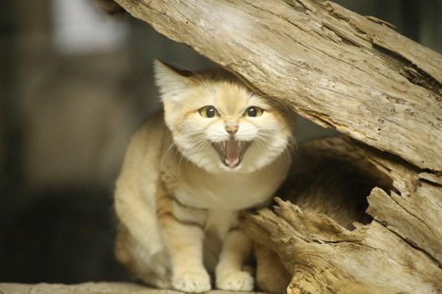 「砂漠の天使」ことスナネコが日本にやってきた! モフモフボディと表情のギャップに癒やされます♡