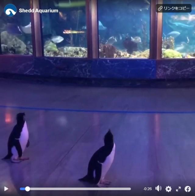 休館中の水族館でお散歩を楽しむペンギンたち♪ 普段なかなか会えない「仲間」と対面する様子が話題に