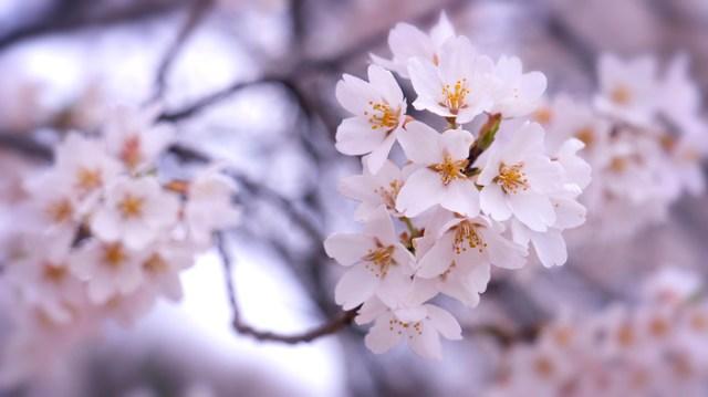 美しい桜の映像と音楽で心癒やされるインドア花見を。ヒーリング会社が高画質映像を公開しています
