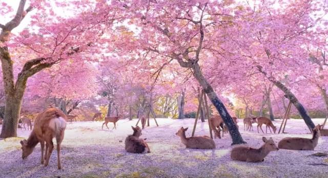 心洗われる奈良公園の様子が桃源郷のような美しさ…開の桜の中で鹿たちがくつろいでいます