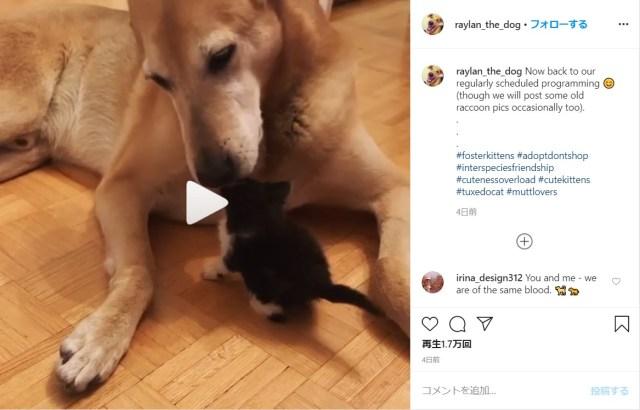 保護された子猫たちの「ママ」に徹するワンコが人気! 体中なめてあげたりくわえて運んであげたりと本当のお母さんのようです