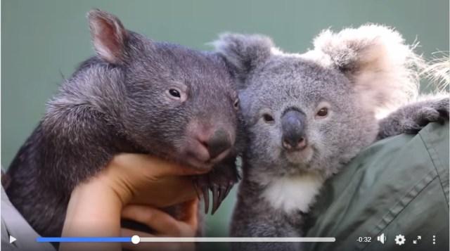 コアラとウォンバットが仲良しに!? 飼育員さんたちに可愛がられる2匹がじわじわと顔が似てきています