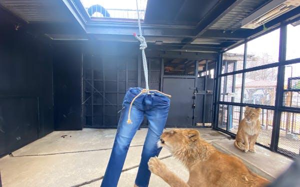 【注目】北海道の動物園「ノースサファリサッポロ」がクラウドファンディングで「ライオンのダメージジーンズ」などを提供