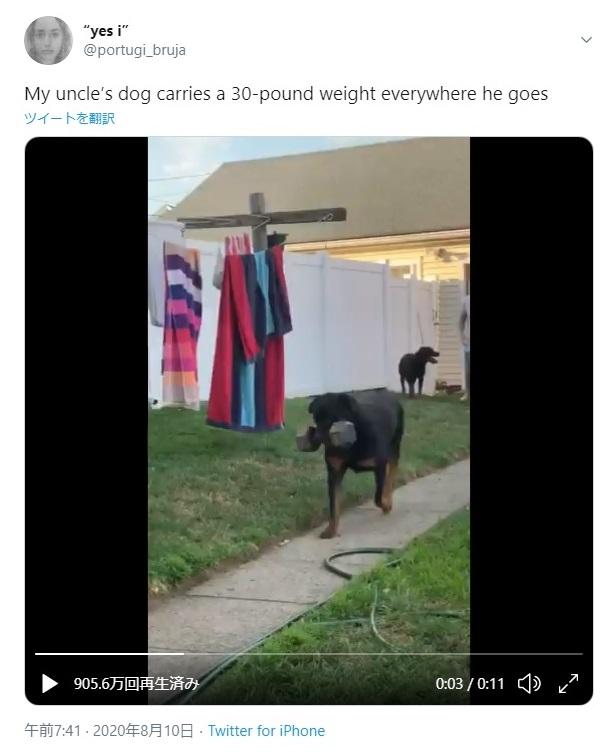 【強すぎる】約14kgのダンベルをくわえてさっそうと歩くワンコを発見! アゴの筋肉、一体どうなってるのー!?