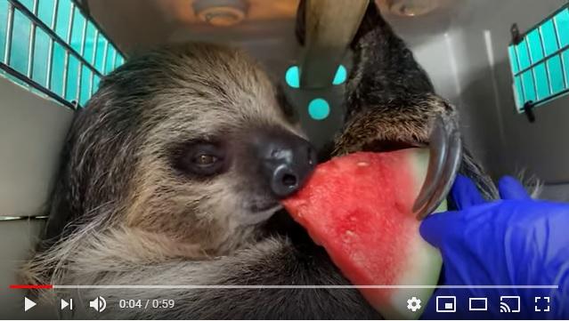 ナマケモノ「スイカってうんめえぇぇぇ…!!」スイカを食べた動物たちの心の叫びが聞こえてきそうな動画がコチラです