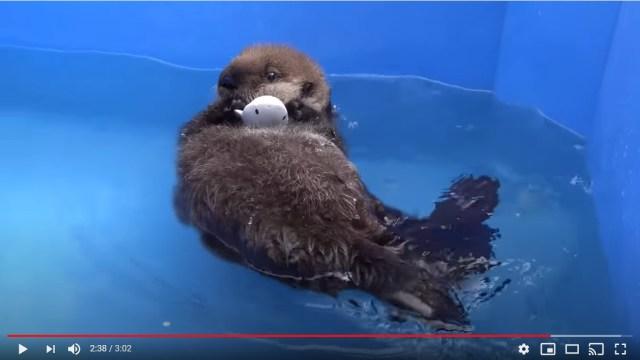 ラッコの赤ちゃん・ジョーイの成長に世界中が夢中! 悲しい過去を経て、水を怖がっていたのに泳げるようになりました