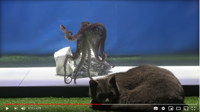 猫とタコが「未知との遭遇」を果たしたら…さてどうなる!? タコの知能の高さがよくわかる動きに注目