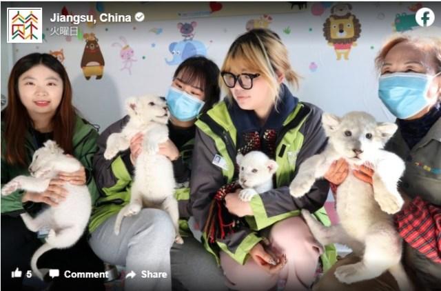 【モフモフ情報】中国の動物園に「ホワイトライオンの赤ちゃん」4頭が誕生! どうにかなりそうなくらい愛くるしいよ〜