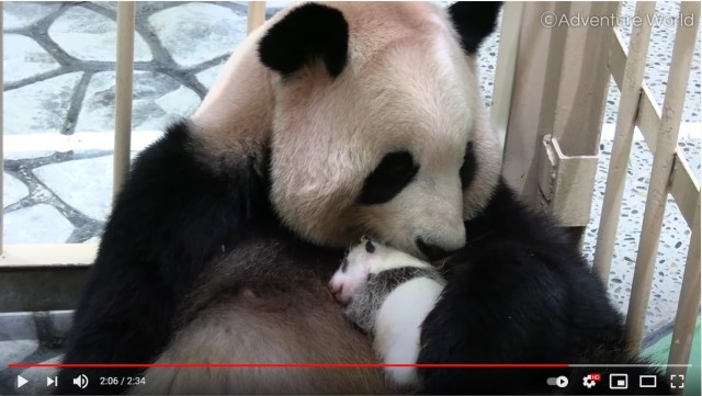 赤ちゃんパンダの成長記録をアドベンチャーワールドが毎日更新中! ママの良浜が優しく子育てする姿にジーンとします