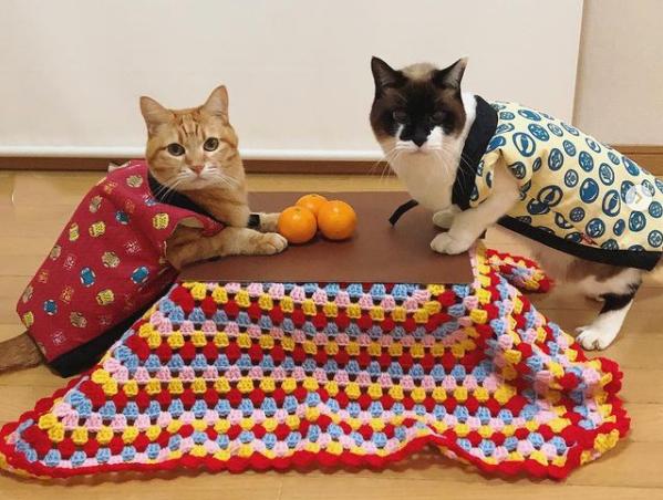 あらら、うちの猫ちゃんが可愛い「こたつ猫」に…! みかんを注文すると猫専用の段ボール製こたつキットがもらえるよ〜