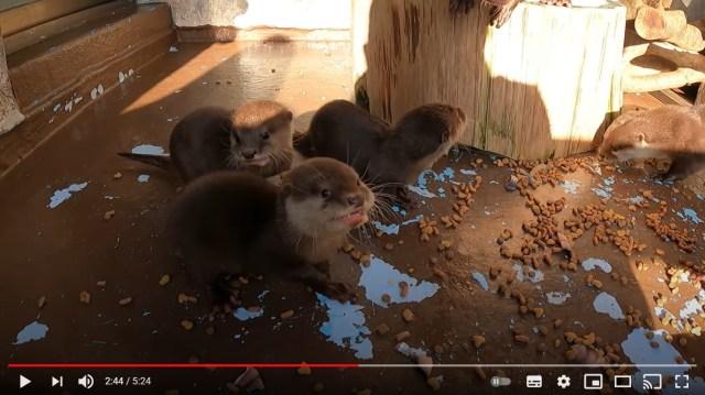 【難易度高い】桂浜水族館のコツメカワウソの赤ちゃんたちの名前が決定したよ~! でもそっくりすぎて全然見分けられない…
