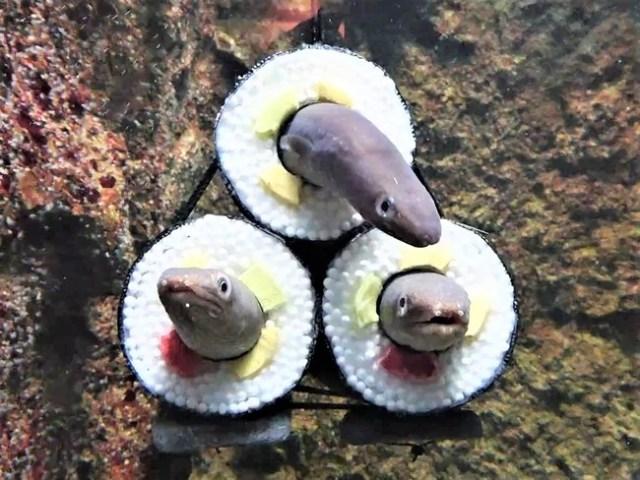 アナゴが大盛り! 今年も「アナゴの恵方巻水槽」が仙台うみの杜水族館に登場してるよ〜