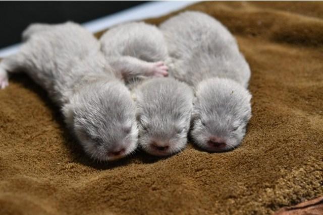 サンシャイン水族館に誕生したコツメカワウソの赤ちゃんが尊い…夫婦で協力して子育てする姿にもキュンです
