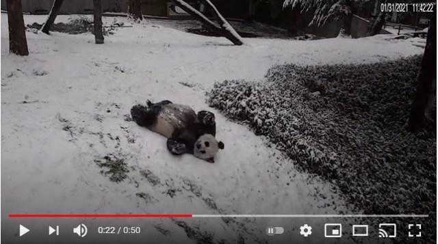 雪と戯れるパンダが悶絶級のかわいさ☆ 子パンダは初めての雪に興味津々です