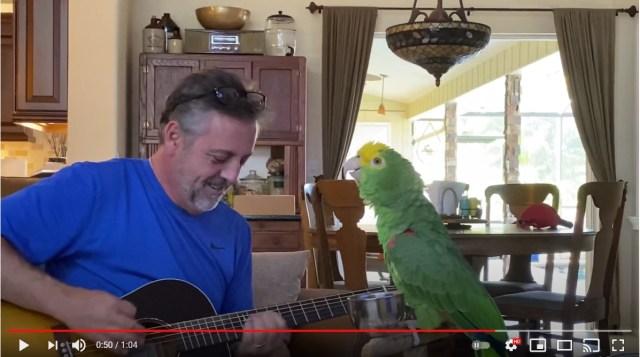 インコの歌のクセがすごいんじゃ〜! 飼い主のギターとセッションしてるけど独特の声色がくせになるよ…