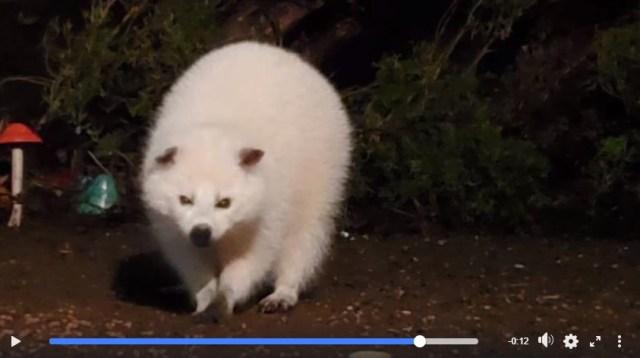 まるで伝説の生き物のような「真っ白なアライグマ」が発見されたよ〜!! アルビノじゃなくて「白変種」らしいです