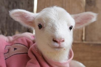 成田ゆめ牧場にヒツジとヤギの出産ラッシュ到来! SNSにアップされた赤ちゃんたちが天使級の可愛さだよ