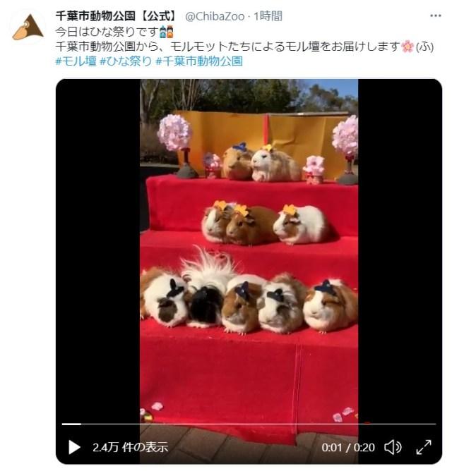 【きゃわ】これは「PUI PUIひな祭り」! 千葉市動物公園がモルモットのひな壇「モル壇」を公開しているよ〜!
