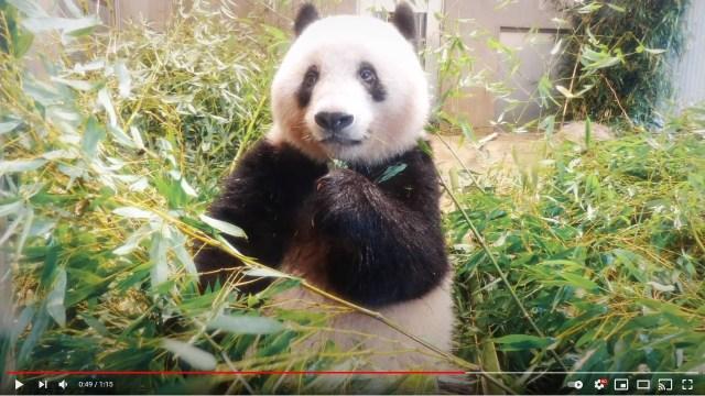 今年いっぱいでお別れ…上野動物園が「シャンシャンが中国に帰らなきゃいけない理由」を動画で公開してるよ